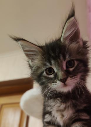 Продажа котят мейкунят