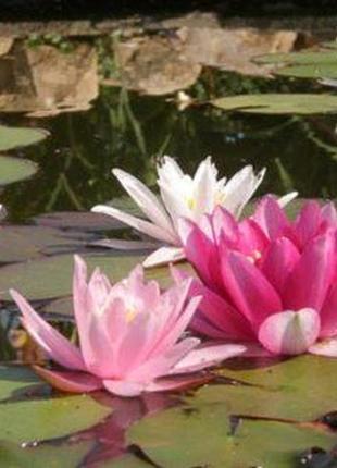 Питомник,водные растения,садовый пруд,рыбки,нимфеи,лотос,камыш...