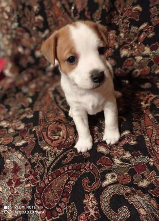 Породистый щенок Джек Рассел