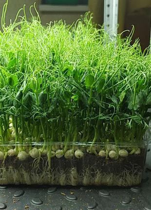 Лоток для микрозелени и ягод