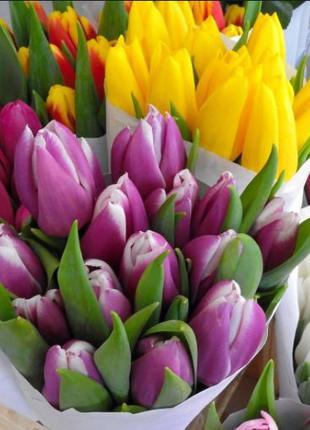 Луковицы тюльпанов сортовые Голландия