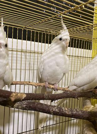 Попугай Нимфа Корелла белая безщокая