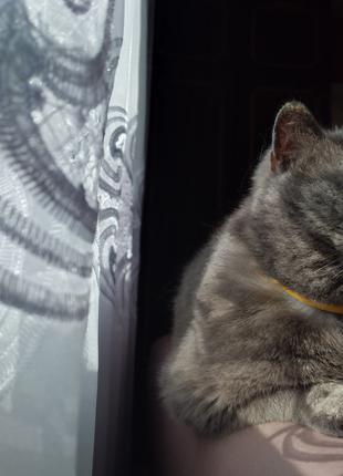 Кіт,короткошерстий британець