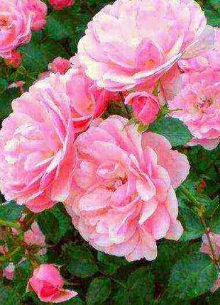 Продам саженцы розы чайной,терена,ежевики,облепихи,вишни