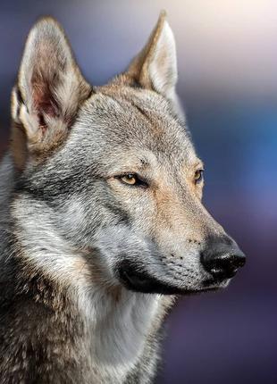 Волк для фото и видео съемки