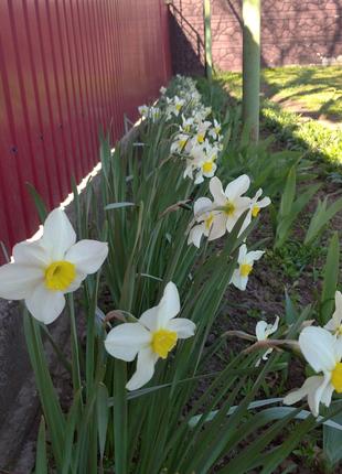 """Цветы """"Нарциссы"""""""