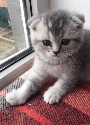 Продам породистого шотландского вислоухого котенка