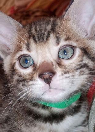 Продам котят Бенгальской породы.