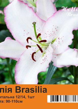 Лилия луковицы Brasilia 90-110 см Holland