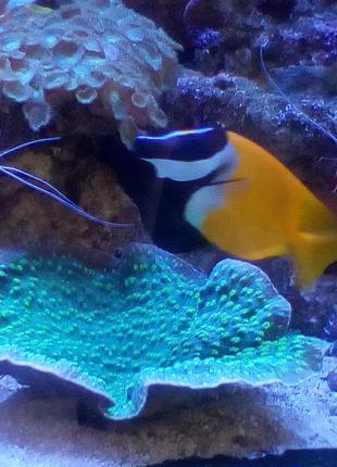 Фраг коралла Чалис