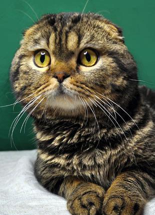 Вязка Скоттиш фолд (шотландский вислоухий) кот на вязку skottish