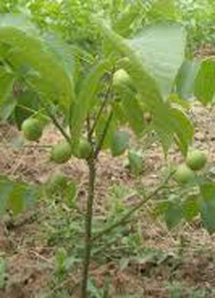 Саженцы ореха Пекан(привитые)