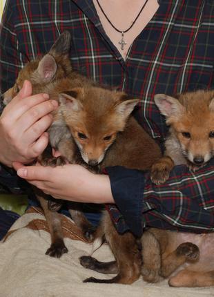 В продаже лисята - малыши. лиса рыжая