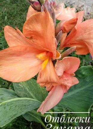 Канны крупноцветковые корневища 4 сорта