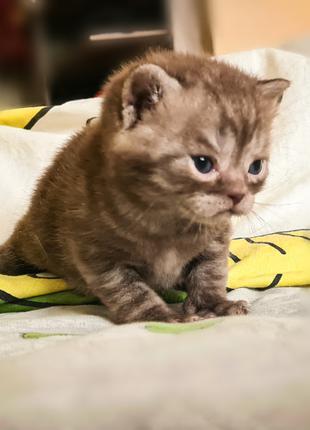 Продаются породистые котята шотландские