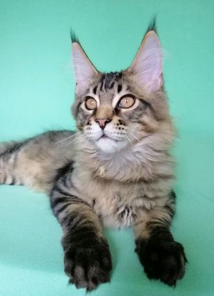 Котенок породы Мейн-кун от клубных родителей.