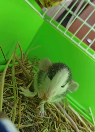 Крысы ( дамбо)