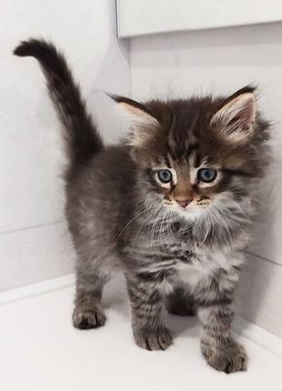 Продам чистокровного котенка породы maine coon