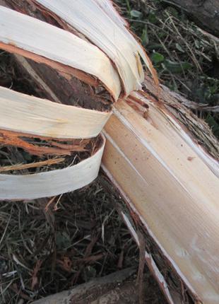 Можжевельник обыкновенный кора Juniperus communis.