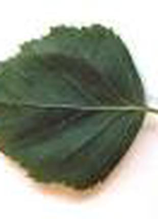 Берёза Betula  лист, серёжки сухой.