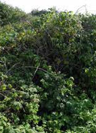 Ежевика лесная Карпаты сизая, ожина, Rubus caesius, лист сухой.