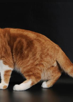 Великолепные Шотландские котята