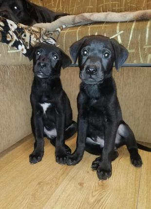 Продам прекрасных щенков лабрадор ретривер
