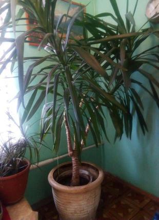 """Комнатное растение """"Юкка"""" и керамический горшок"""