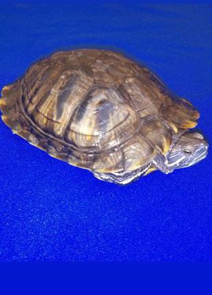 Большая красноухая черепаха.
