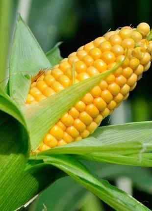 Продаж насіння Кукурудзи