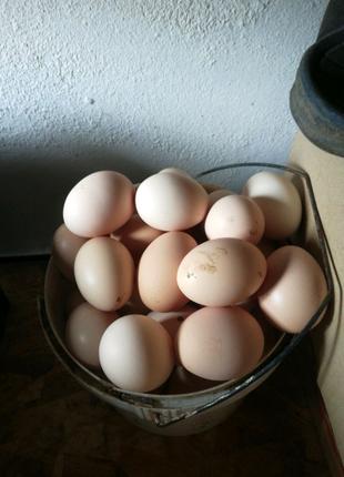 Курячі яйці