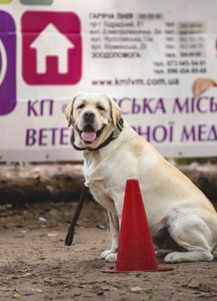 Лабрадор ретривер ищет девочку для вязки / лабрадор вязка Киев