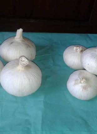Чеснок Рокамболь крупная однозубка (70-170 грамм)