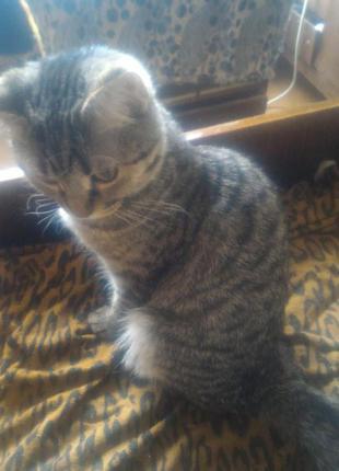 Отдаем  шотландский прямоухий  котик в добрые руки.