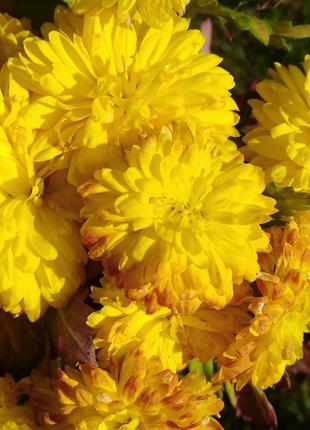 Хризантема жёлтая помпонная