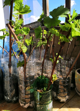 Саженцы винограда Супер Экстра,Кишмыш,Анжелика, Виктория, Викинг.