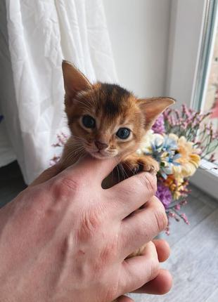 Абіссинські кошенята / Абиссинские котята