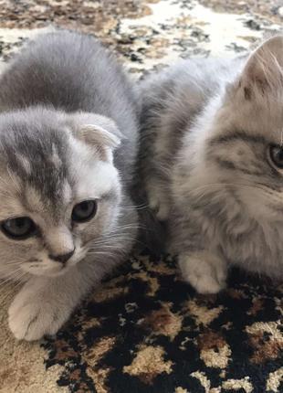 продам породистого котенка