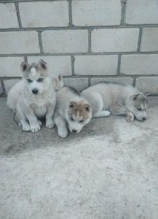 Супер акция!! Лучшие малыши Сибирской Хаски всего по 1000грн