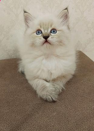 Сибирскиеи невские маскарадные котята