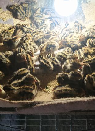 Продам перепелов яичной породы Фараон цена 15 грн шт смт Литин Ви