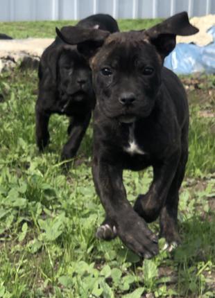 Продам щенков Кане-Корсо