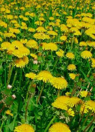 Высушенные цветы одуванчика