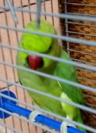 Папуга ожерелла