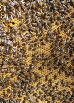 Продам пчелопакеты Бакфаст Карника