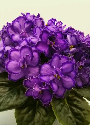 Фиалка М-Пурпурный мираж