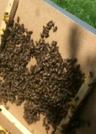 В продаже уже есть пчелопакеты