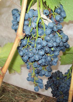 Саженцы винограда Красень