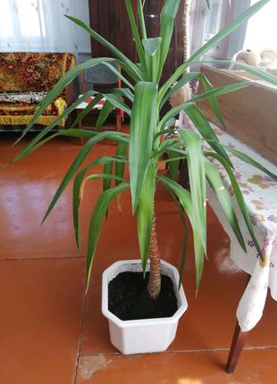 Юка, вазон Пальма