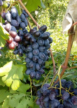 Саженцы винограда ЛОРАНО